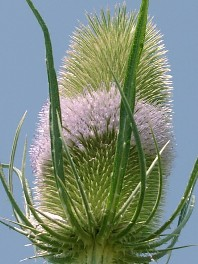Flower of the teasel (second year) - Dipsacus sativus