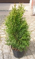 Thuja occidentalis (Lebensbaum) - fotoquelle http://www.commons.wikimedia.org/wiki/File:T_occidentalis_smaragd.jpg
